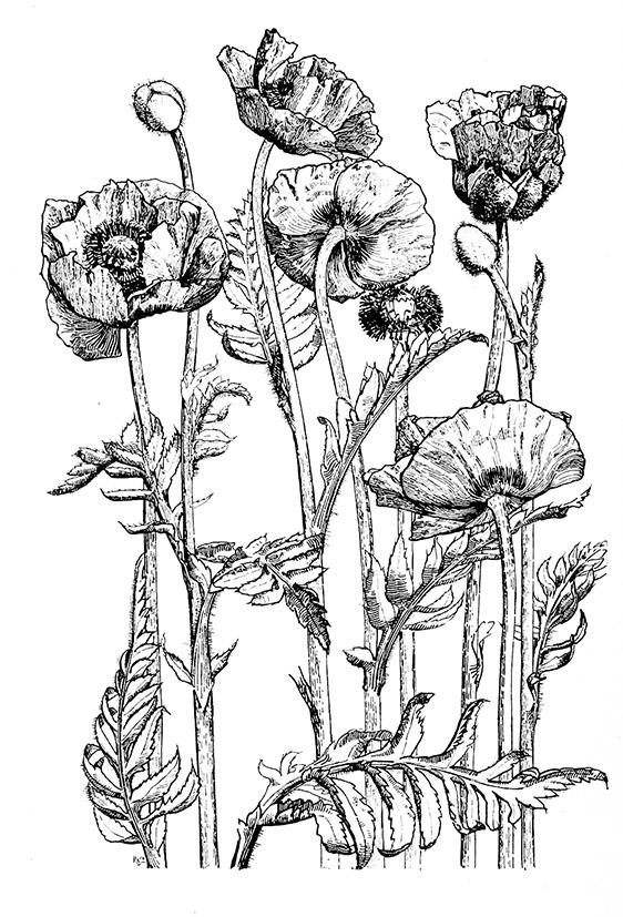 Oriental poppy drawing black white