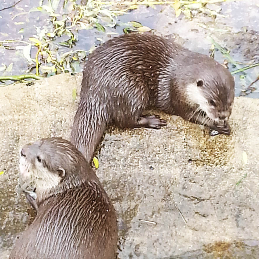otters with fish