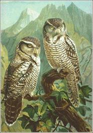 hawk owl clip art
