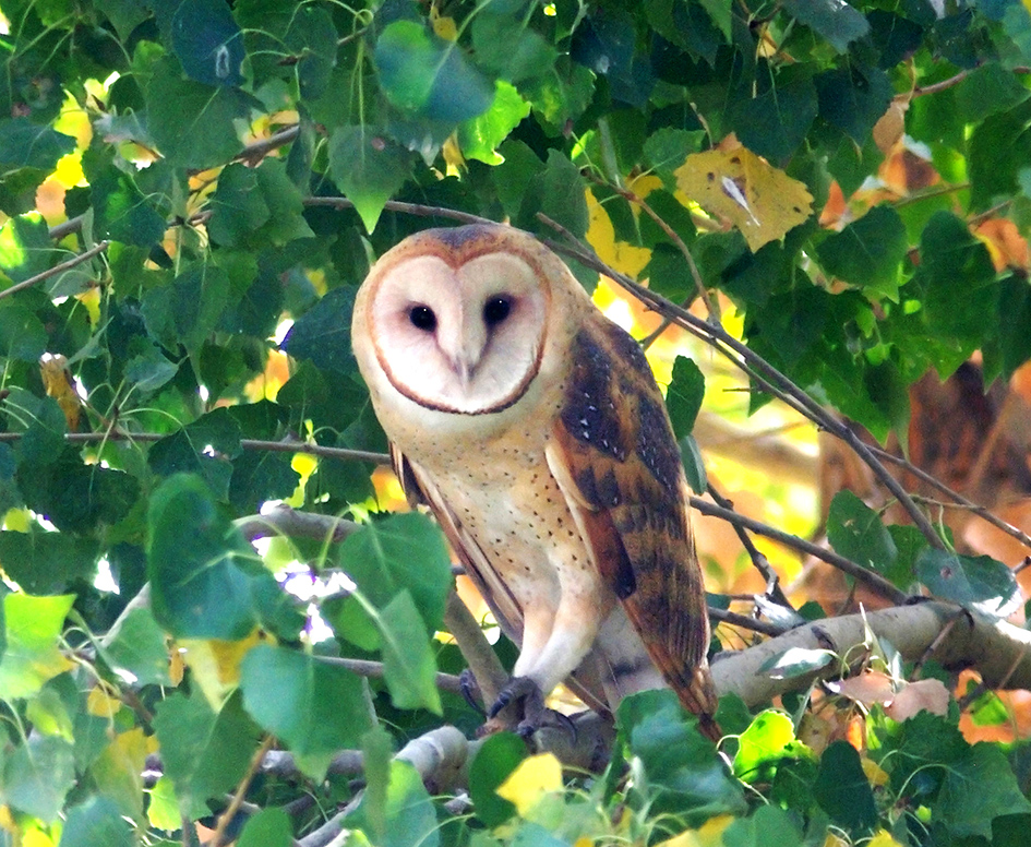 owl facts barn owl on branch