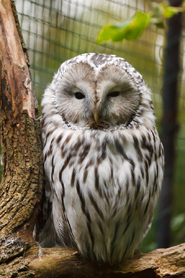 Owl pictures ural owl