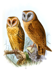 barn owl and ashy faces owl clip art