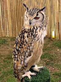 Bengal eagle owl domesticated