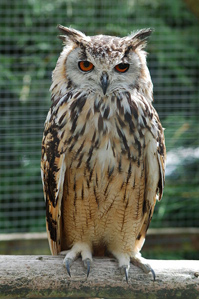 Bengalese eagle owl photo