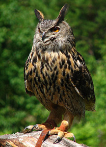 domesticated owl bubo bubo