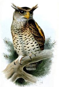 bubo Nipalensis
