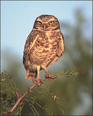 owl pictures burrowing owl in tree