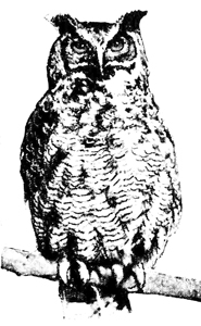 owl drawings great horned owl