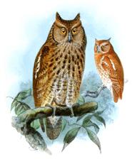 Owl clip art guatemalan screech owl