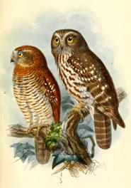 moluccan hawk owl timor boobook owl