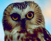 Northerne sawwhet owl