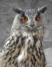 owl pictures orange eyes