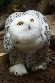 owl pictures snowy owl