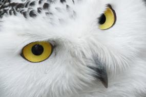 snowy owl clip art