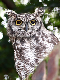 face spotted eagle owl