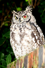 photo of spotted eagle owl