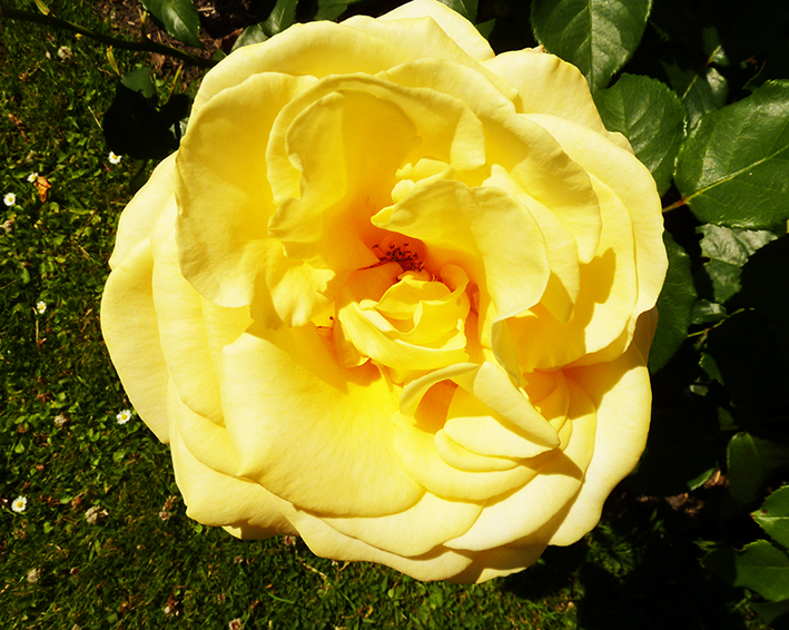 pale yellow rose picture