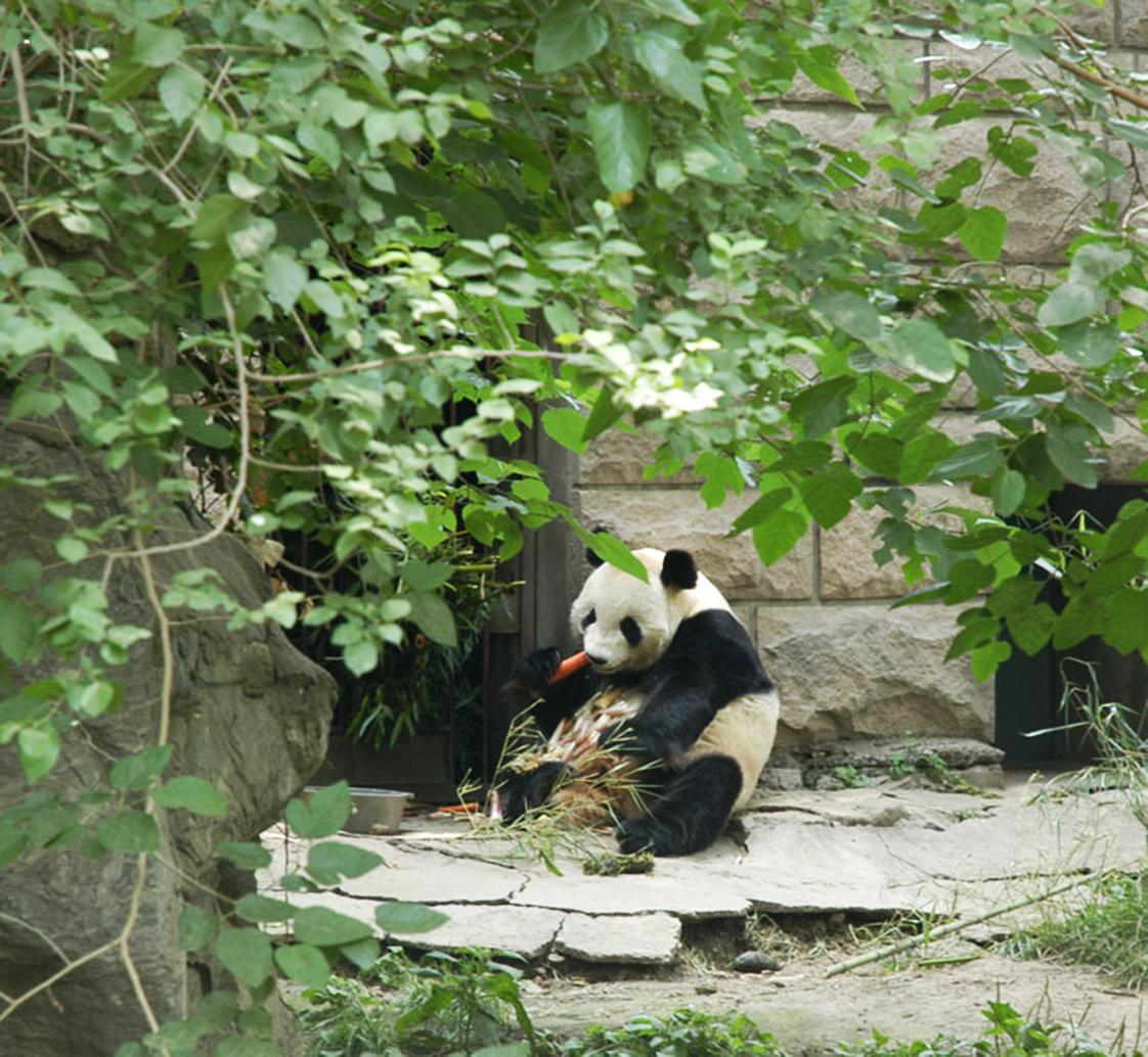 panda eating carrot