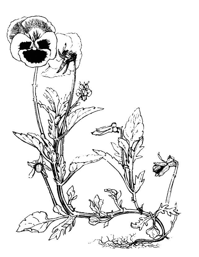 pencil sketch of Pansy