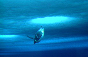 emperor penguin diving in blue water