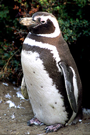 magellani penguin pictures