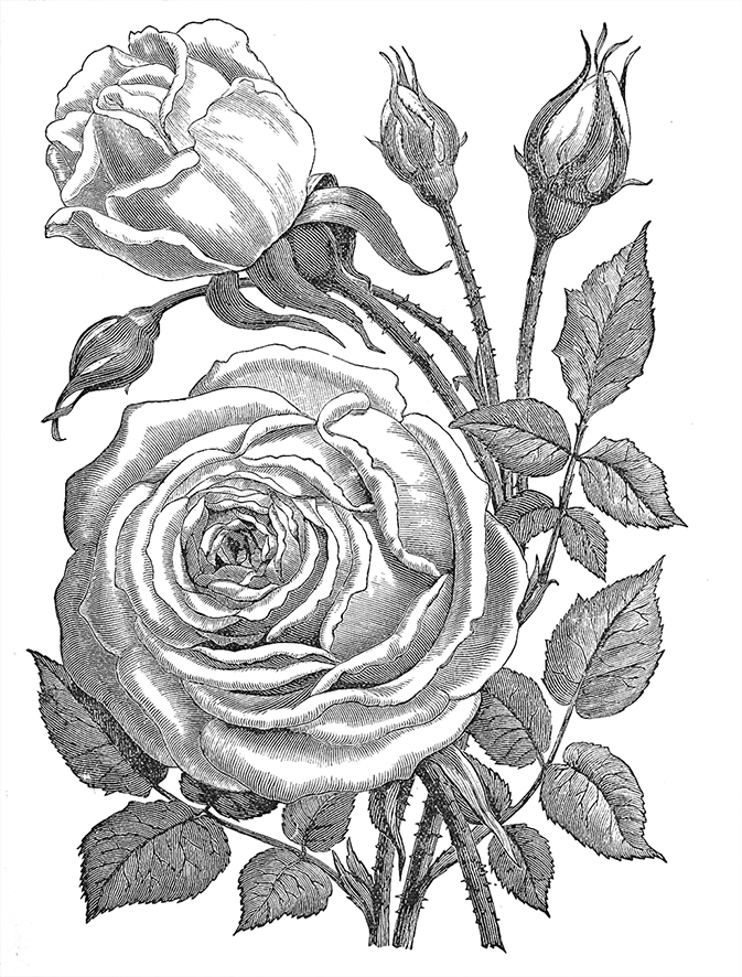 Perle des Jardins rose drawing