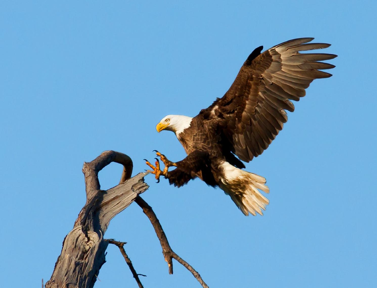 photo bald eagle landing on tree