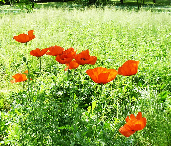 photo of red poppies in green grass