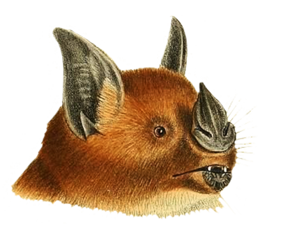 head phyllostoma hastatum bat
