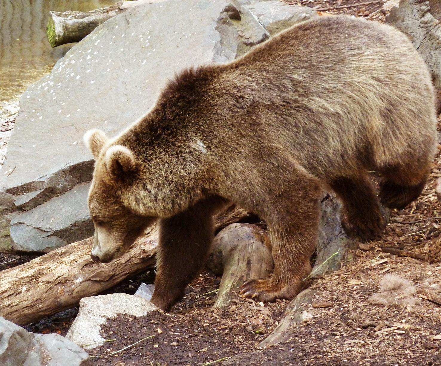 picture of brown bear