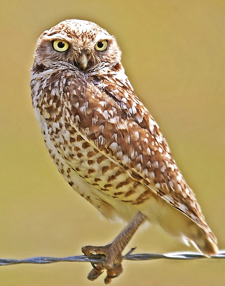 picture of burrowing owl
