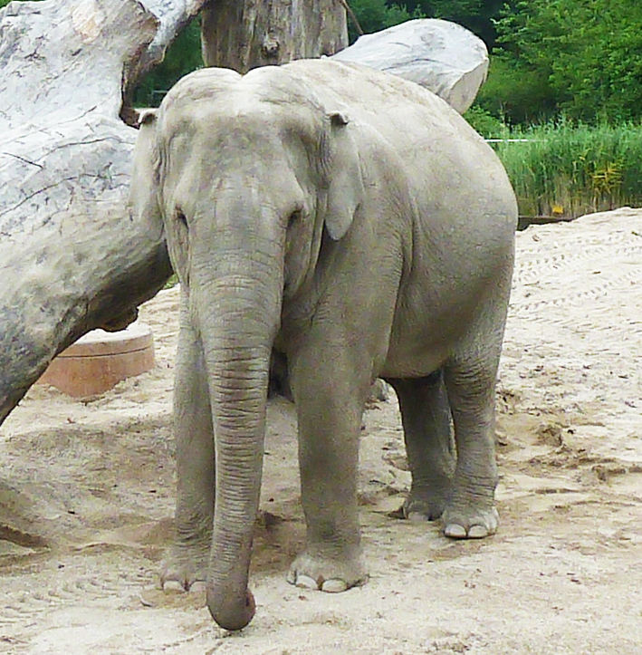 picture-of-elephant