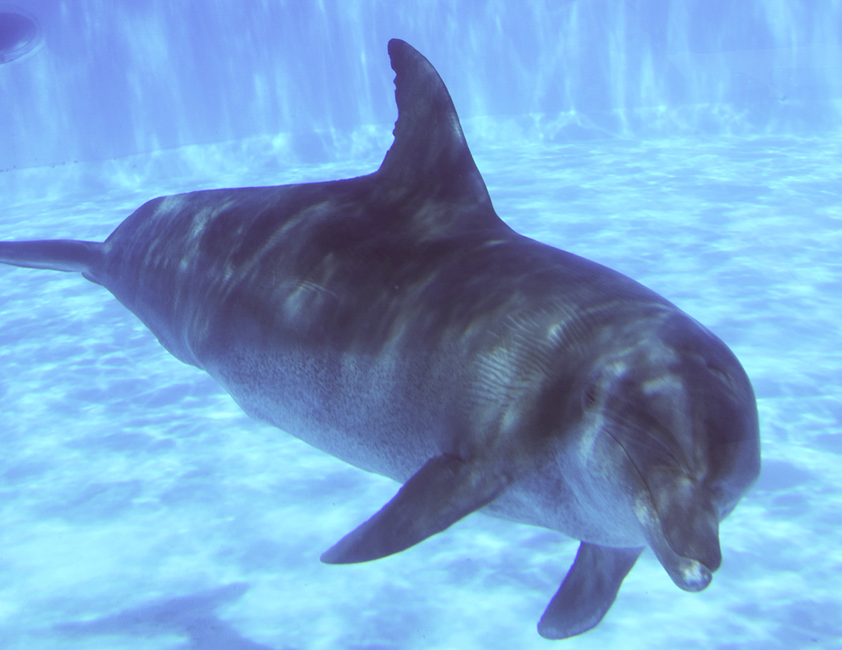 picture of spotted dolphin