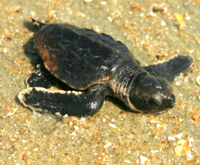 pictures of animals sea turtle