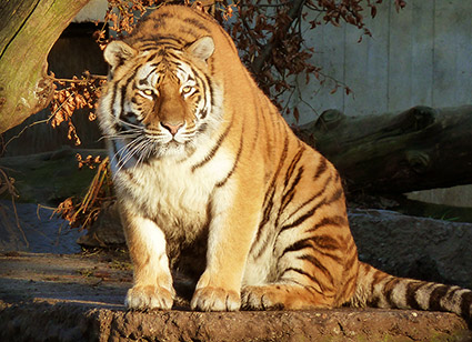 pictures-of-animals-tiger