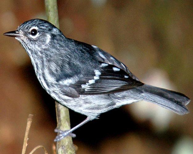 Elfin wood Warbler