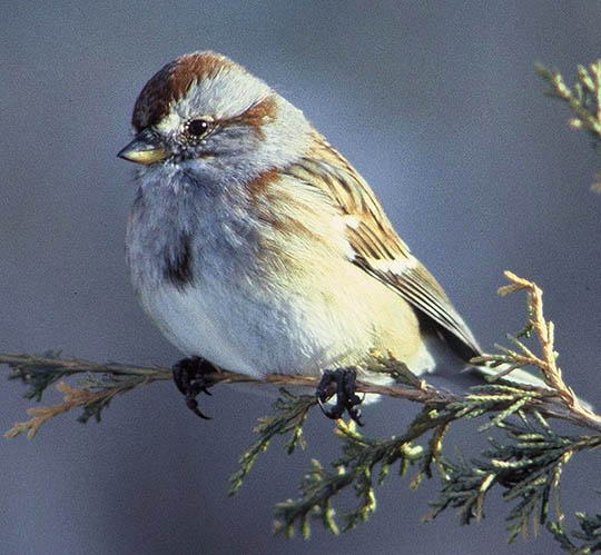American Treesparrow photo