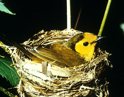Hooded warbler on nest