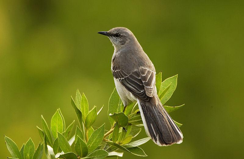 Northern Mockingbird picture