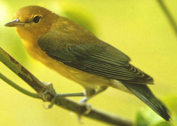 Warbler close up