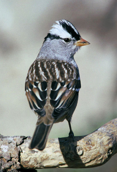 White headed Sparrow
