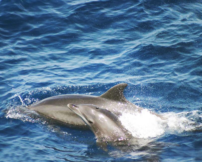bottlenose dolphin with calf clip art