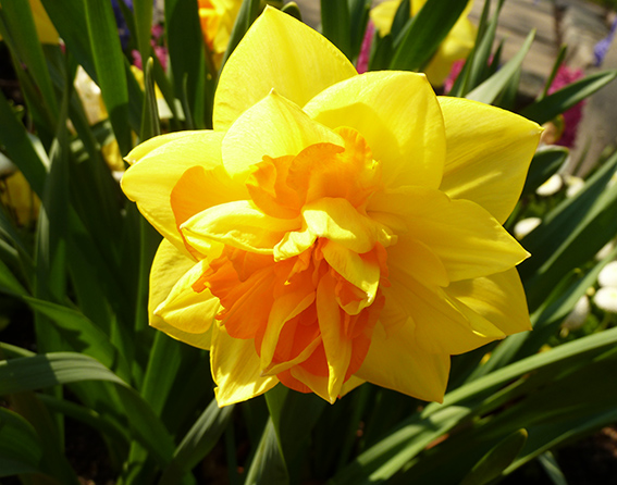 Photo of daffodil