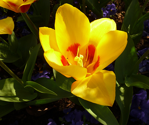 Tulip photo yellow orange