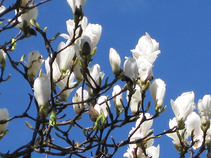 magnolia branch with flowers against blue sky