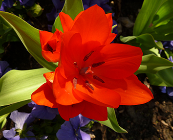 Picture of red, red tulip
