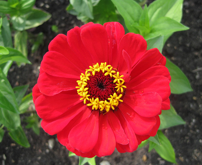 red flower with yellow stamens