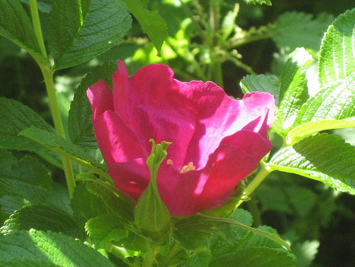 Rosehip photo