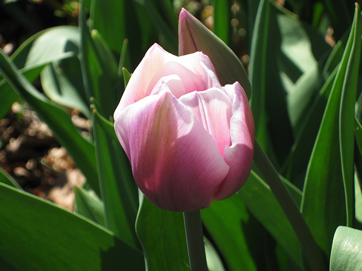 picture of tulip