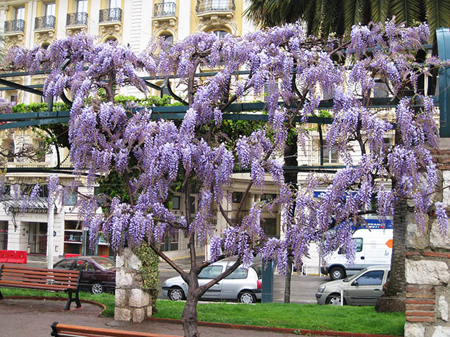 Wisteria blooming in Nice